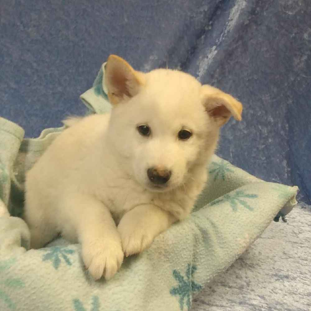 Male Shiba Inu Puppy for sale
