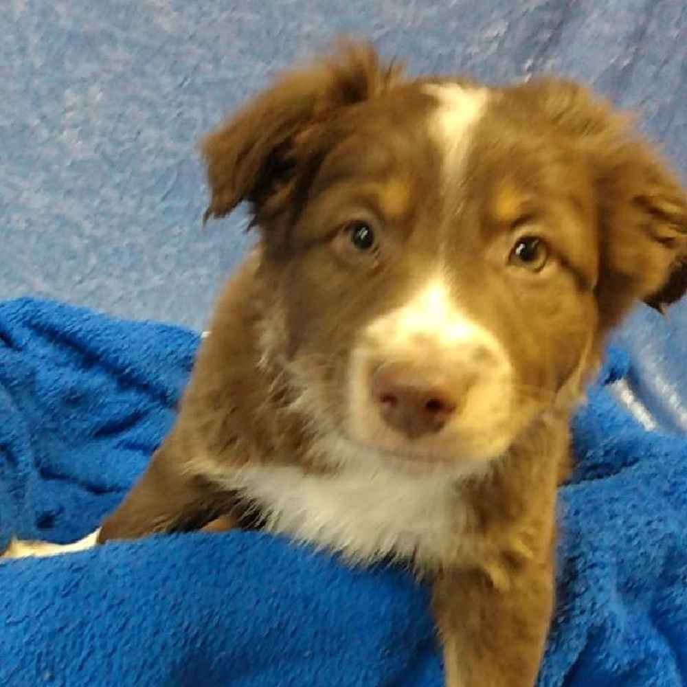 Male Australian Shepherd Puppy for sale