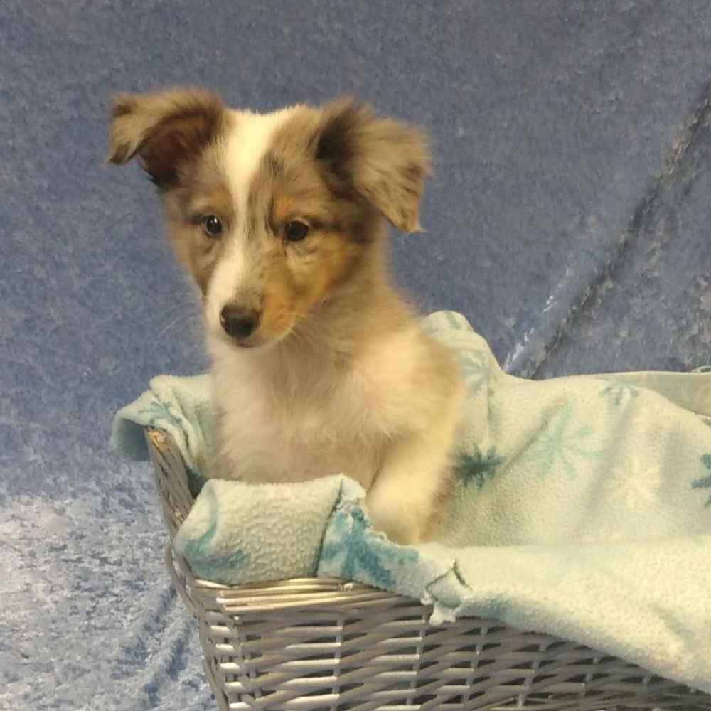 Male Shetland Sheepdog Puppy for sale