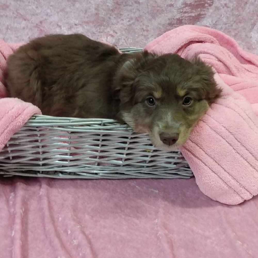 Female Australian Shepherd Puppy for sale